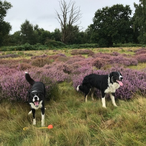 dogs in the heather