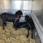 goats in trailer