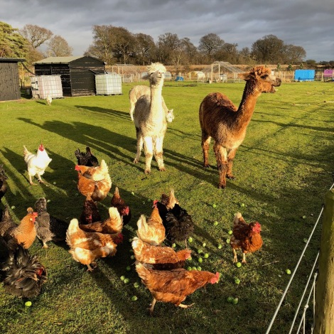 alpacas and chickens.jpg