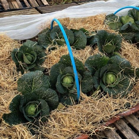 snug cabbages2