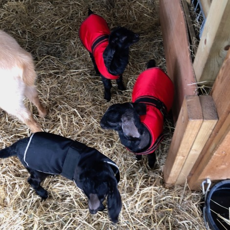 goats in coats2