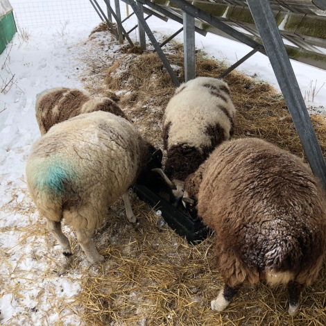 pregnant ewes
