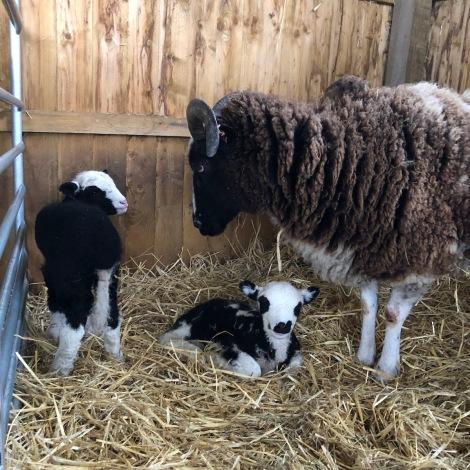 39 and lambs2.jpg