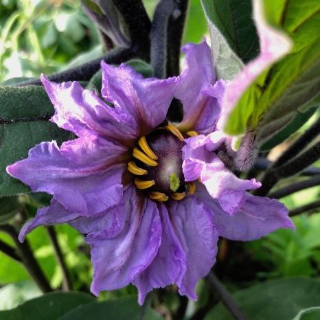 aubergine flower