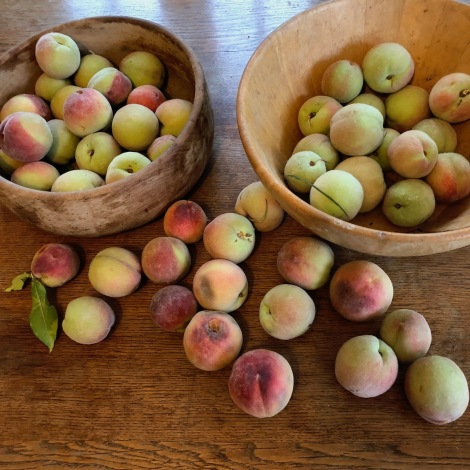 ripening peaches